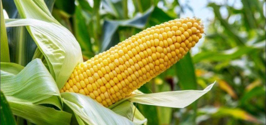 gmo corn toxic