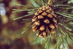 Turpentine pine tree alternative cancer treatment