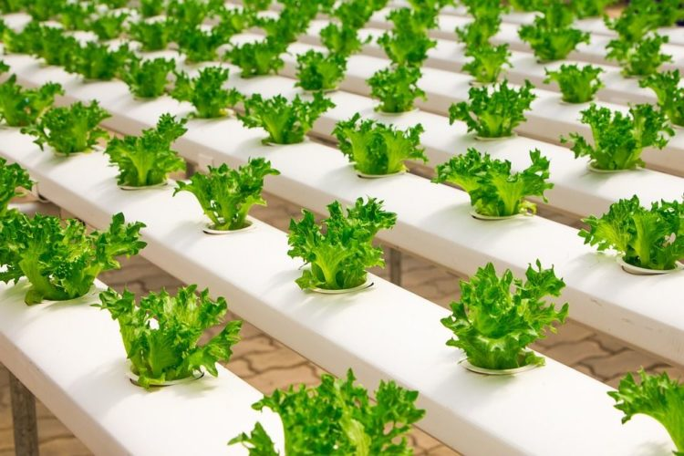 Hydroponic vegetable growing less water