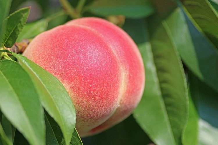 Peach fertilizer