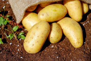 GMO potatoes