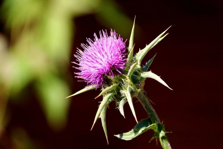 Milk thistle alternative cancer treatment