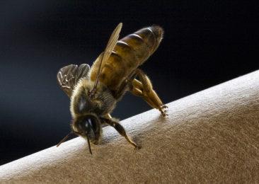 queen bee - sodium bicarbonate