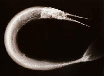 X-ray image of a needlefish