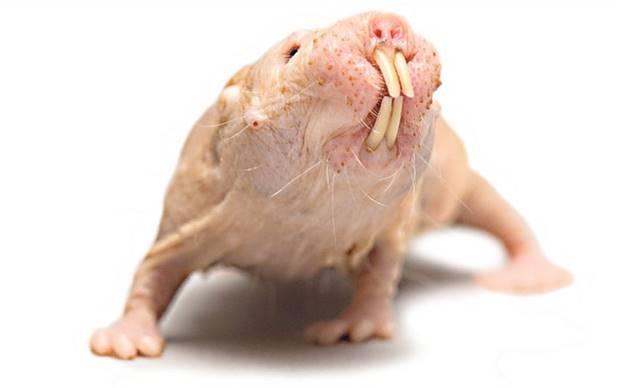 Naked mole rat immune to cancer