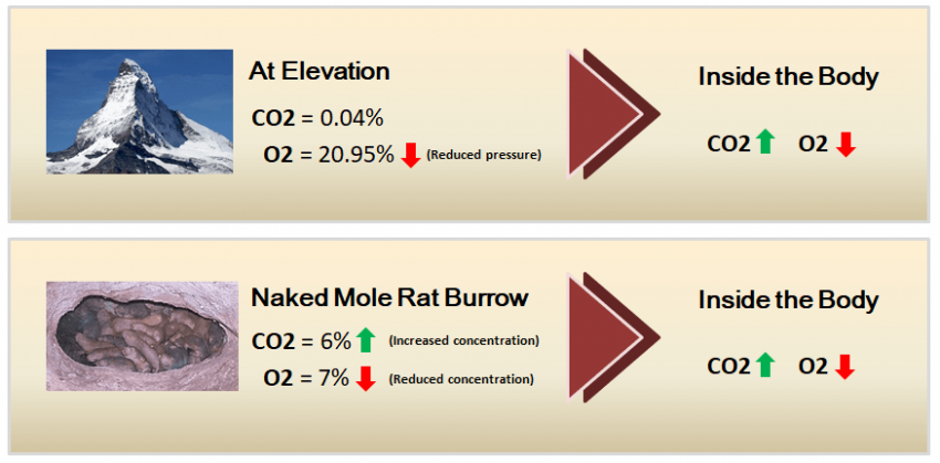 Elevation compared to naked mole rat burrow
